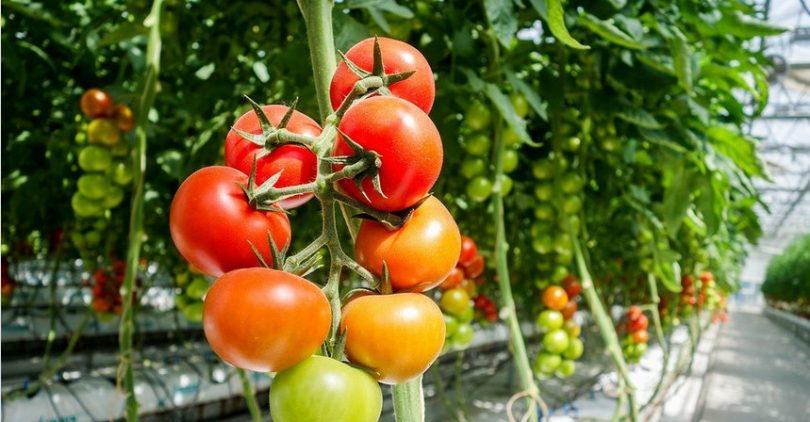 Nebenwirkung Von Tomaten